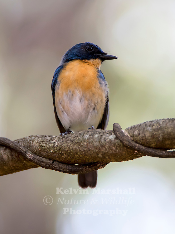 Tickell's blue flycatcher (Cyornis tickelliae) is a small passerine bird in the flycatcher family. This is an insectivorous species which breeds in tropical Asia, from the Indian Subcontinent eastwards to Southeast Asia. Its range stretches across all the countries from India to Indonesia. They are blue on the upperparts and the throat and breast are rufous. They are found in dense scrub to forest habitats. Habarana Sri Lanka.