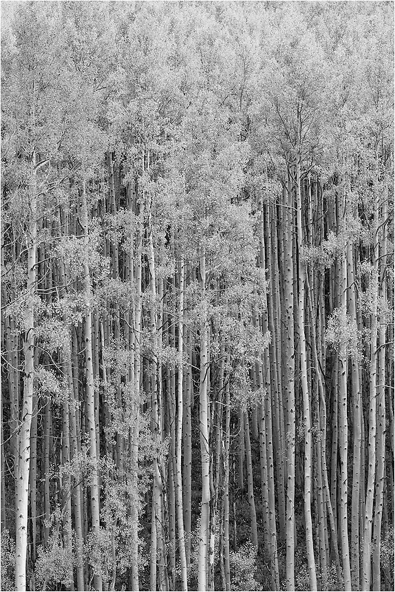 I love capturing Colorado aspen images in autumn and seeing what they look like in black and white. In the fall, aspen leaves turn orange and gold. This Aspen grove was found in the Maroon Bells Wilderness area, near Aspen Colorado. When converted into black and white images, these Aspen can produce quite a contrast in shades. I love the Colorado Rocky Mountains in fall and the landscape and photographic opportunities it offers.