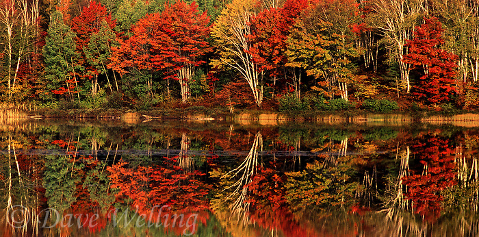 950000001 a panoramic view of trees in brilliant fall color and their mirror-like reflection in thorton lake in the upper penninsula of michigan united states