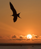 On our final morning, we enjoyed the spectacle of several great frigatebirds flying about at sunrise.