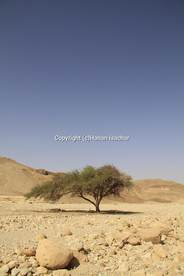 Israel, Eilat mountains, Acacia tree in Nahal Raham