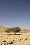 Israel, Eilat mountains, Acacia tree in Nahal Raham