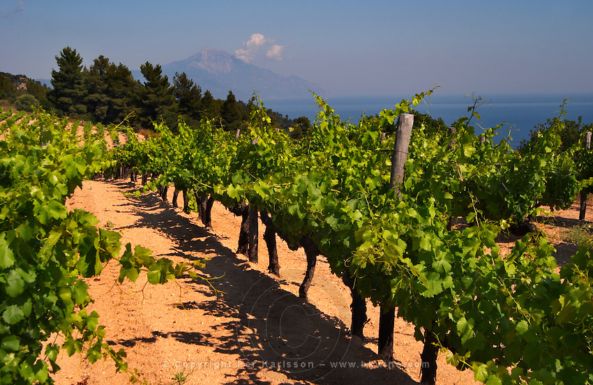 Vineyard with Mount Athos top in the background. Mount Athos. Tsantali Vineyards & Winery, Halkidiki, Macedonia, Greece. Metoxi Chromitsa of St Panteleimon monastery.