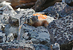 A Marmot on a rock slide in Montana