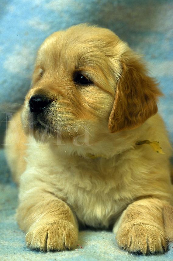 Close up of a Golden Retriever puppy.