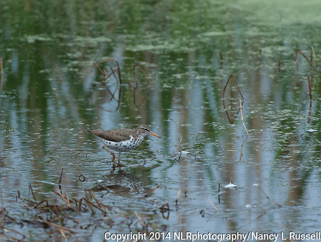 Spotted Sandpiper searching for food in the Valencia Wetlands in Idaho