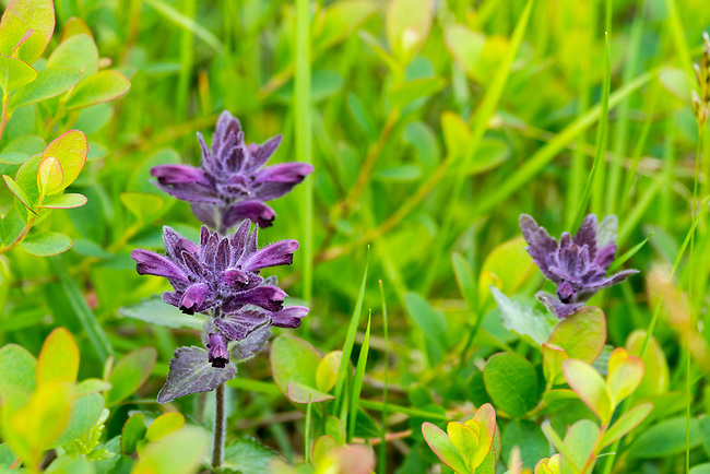 Alpine bartsia or velvetbells in a meadow at Hofdi at Lake Myvatn in Northeast Iceland.