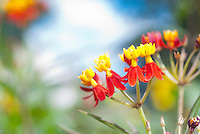 Asclepias curassavica 'Red Butterflies' annual butterfly flower milkweed in red and yellow flowers against soft blue sky