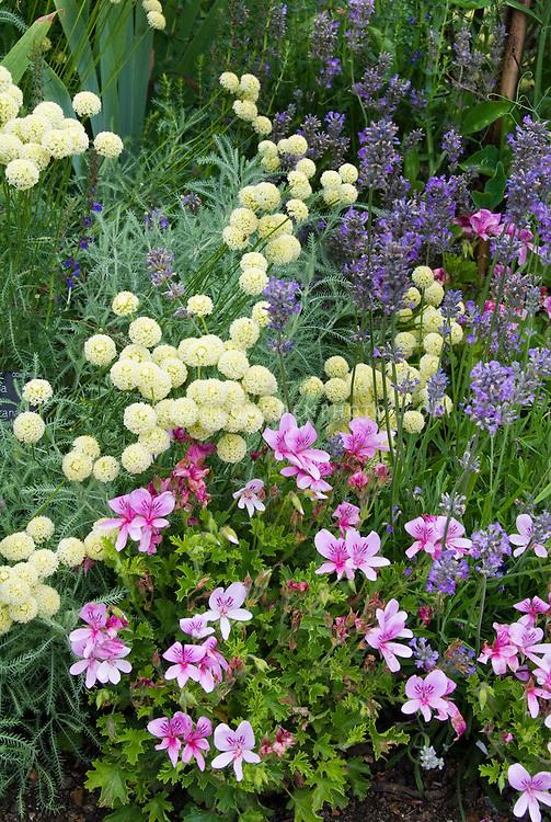 Perfume Garden: Lavandula herb English lavender, scented geranium Pelargonium, santolina, fragrant garden plants and herbs