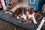 Red border collie on a tailgate, late winter calf marking, Dell'Orto Ranch, Amador County, Calif.