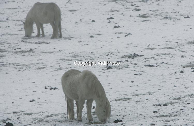 Foto: VidiPhoto..RANDWIJK - Witte pony's in een ondergesneeuwd en bevroren weiland in de uiterwaarden bij Randwijk. Ondanks de koude nachten en het voor Nederlandse begrippen extreme winterweer, loopt er nog relatief veel vee buiten, zoals schapen en paarden. Voor de dieren is het wel zoeken naar een plukje gras. Vrijwel alle beesten worden echter bijgevoerd.