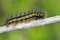 Maivogel, Kleine Maivogel, Raupe, Eschen-Scheckenfalter, Euphydryas maturna, Hypodryas maturna, scarce fritillary, caterpillar, Le Damier du frêne