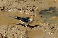 Rötelschwalbe, sammelt Schlamm für Nestbau, Rötel-Schwalbe, Schwalbe, Hirundo daurica, Cecropis daurica, Red-rumped Swallow, Hirondelle rousseline
