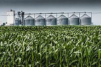 Rain  storm soaks field of corn on an Ohio farm.