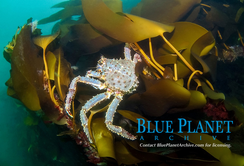Red King crab (Paralithodes camtschaticus), Barents Sea, Russia, Arctic, Europe