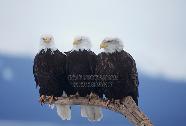 Bald Eagle (Haliaeetus leucocephalus), adults perched, Homer, Alaska, USA