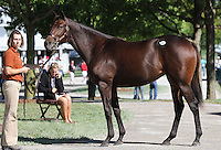 Hip #101 Speightstown - Honor Bestowed colt at the  Keeneland September Yearling Sale.  September 9, 2012.