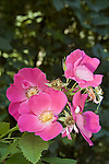 Rugosa rose blossoms<br />
