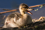Rose Canyon, San Diego, California; a baby Mallard duck resting at the water's edge with its mouth open, vocalizing