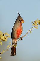 Pyrrhuloxia (Cardinalis sinuatus), adult male on blooming Blackbrush Acacia (Acacia rigidula), Dinero, Lake Corpus Christi, South Texas, USA