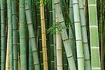 Asia, Japan, Kyoto, Arashiyama, Sagano, Bamboo Forest