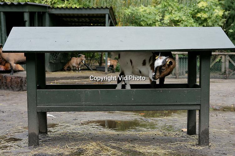 EPE - Een jonge dwerggeit in Dierenpark Wissel in Epe combineert het nuttige met het aangename: in zijn overdakte voerbak heeft hij geen last van de vele herfstbuien op dit moment. Foto: VidiPhoto