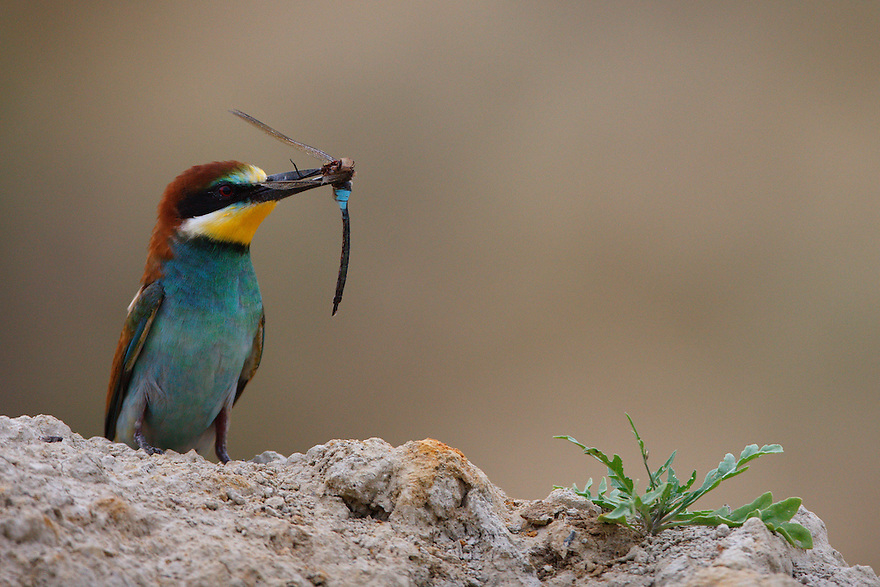 Bee-eater with prey, Bagerova Steppe, Kerch Peninsula, Crimea, Ukraine