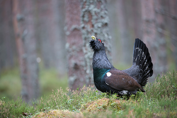 A male Capercaillie in a forest. Cairngorms, Scotland