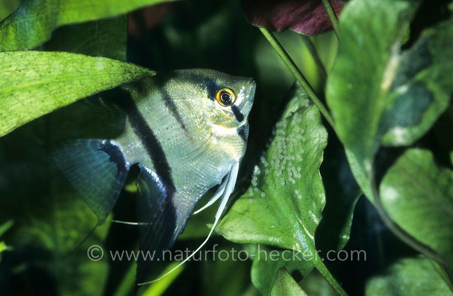 Skalar, Scalar, Segelflosser, Skalare, am Eigelege, Laich, Eier, Pterophyllum scalare, Platax scalaris, angelfish, freshwater angelfish, Le scalaire