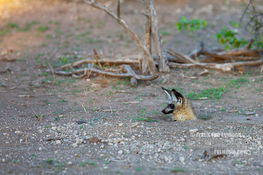 Bat-eared Fox (Otocyon Megalotis)...Bat-eared fox peeking outside from it's den entrance. ..Mashatu Game Reserve..Tuli block, Botswana..November 2010.