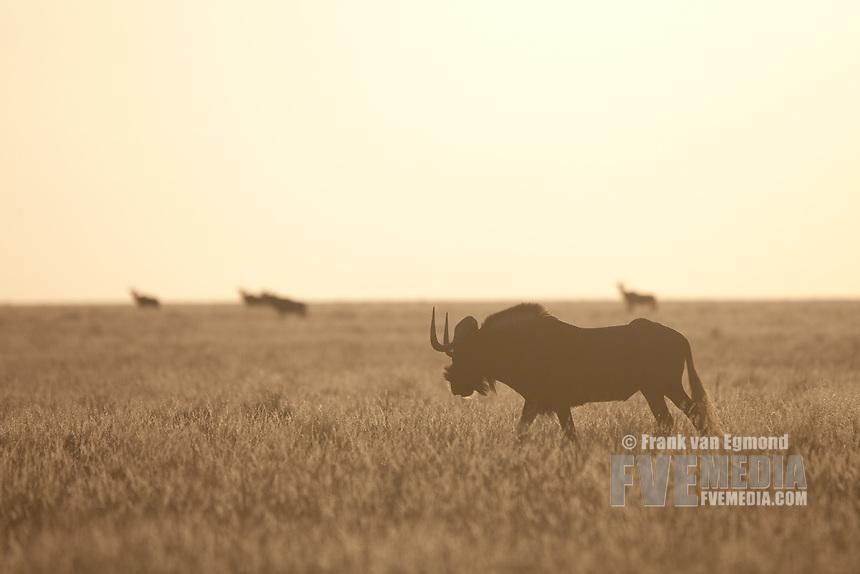 Black wildebeest on the plains, Mokala National Park, South Africa.