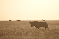 Black wildebeest on the plains, Mokala National Park, South Africa.