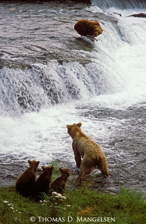 Cubs look on as their mother stands at the edge of the fishing spot at Brooks Falls.