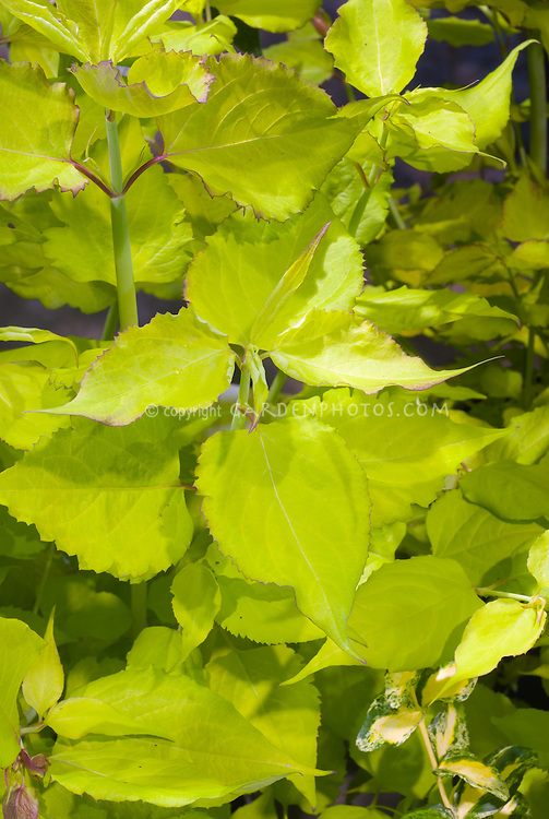 Leycesteria formosa Golden Lanterns (Notbruce' in golden foliage