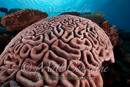 Convolutions of Brain Coral, Yap Micronesia (Photo by Matt Considine - Images of Asia Collection) (Matt Considine)