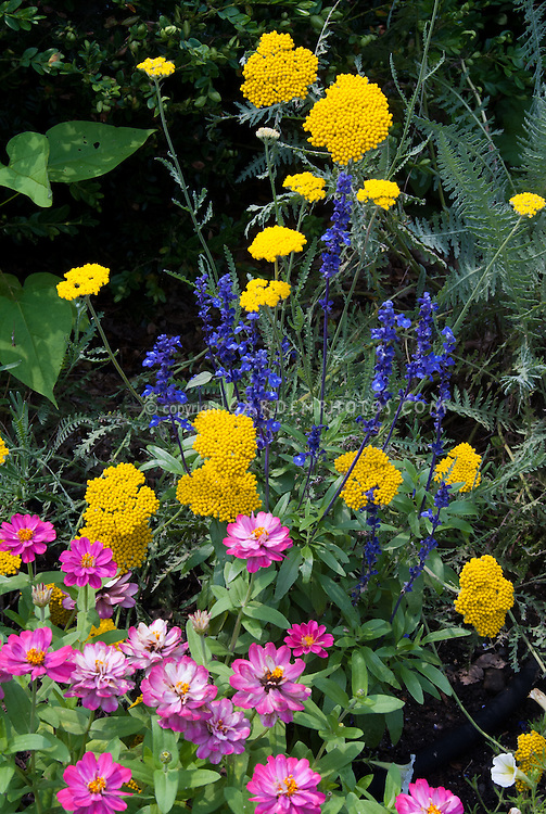 Annuals and perennial flowers planted together in the garden. Zinnias, pink Magellan Coral, with perennial Achillea and Salvia farinacea and white petunias in annuals and perennials summer garden of blue, yellow and pink color theme mixed together