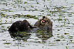 Sea Otter (Enhydra lutris) female grooming, Elkhorn Slough, Monterey Bay, California