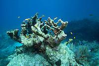 Dead Elkhorn Coral, Florida