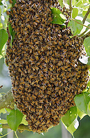 Honey bees swarming in a plum tree in the Cotswolds, UK