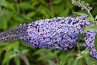Butterfly Bush Stock Images Buddleja