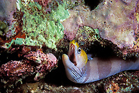 yellow-headed moray, banded moray, or black barred eel, Gymnothorax rueppellii, Ko Bon, Thailand (Andaman Sea, Indian Ocean)