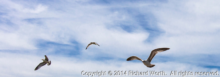 Three gulls flying against a blue and white, cloud suffused, sky.