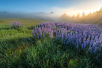 Redwoods National Park, California:<br /> Riverbank lupine (lupinus rivularis)  in clearing morning fog on the Bald Hills road