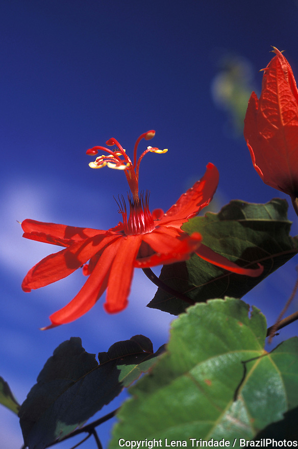 Passion flower, ( passiflora ) - Amazon rainforest, Brazil. Alta Floresta, state: Mato Grosso. Nature, flora.