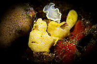 Juvenile Painted Frogfish with nudibranch (Antennarius pictus with Glossodoris pallida)