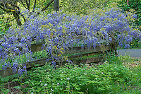 Wisteria on old fence, Columbia Gorge, Oregon