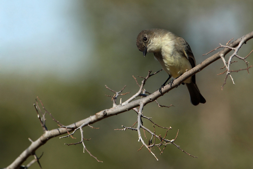 "Perhaps the most familiar flycatcher in eastern North America, the Eastern Phoebe nests near people on buildings and bridges. It can be recognized by its emphatic ""phee-bee"" call and its habit of constantly wagging it tail."