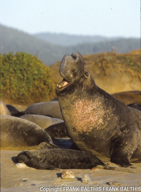 Elephant seal bull trumpets