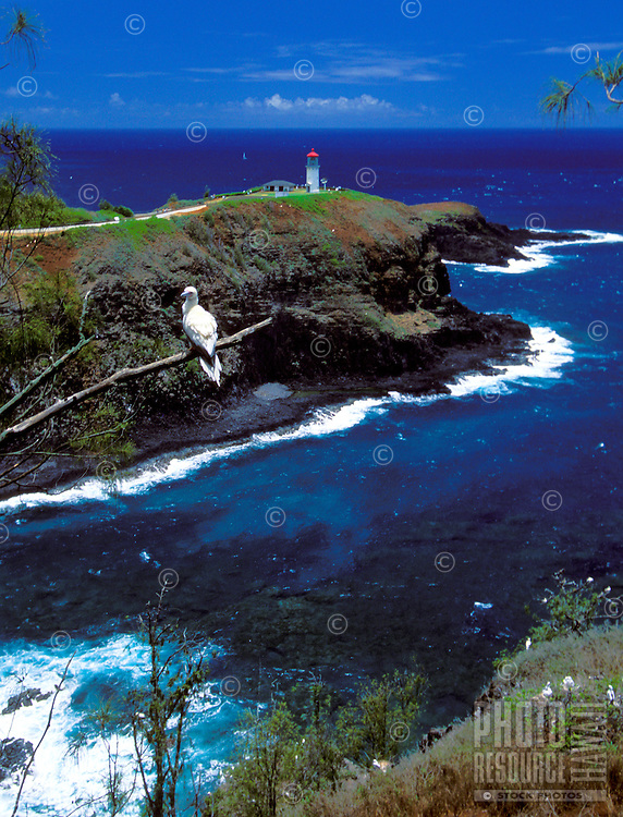 Kilauea lighthouse on Kauai's north shore with red footed boobies, National Wildlife refuge