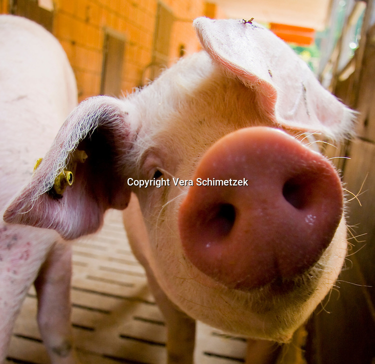 Pigs / Schweine